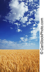 Wheat field under the blue sky with white clouds sunny vertical wallpaper panorama