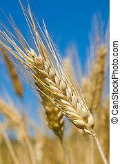 Wheat field, very shallow focus