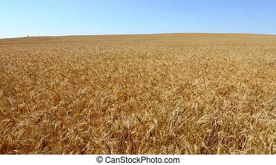Wheat Field Waving The Breeze Pan