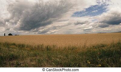 Wheat field. Wheat field shot in timelapse mode
