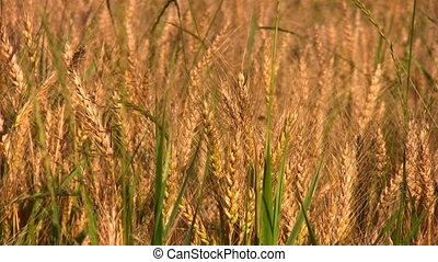 wheat field - Wheat field