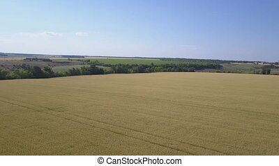 Wheat field with blue sky. Aerial. Panorama from right to...