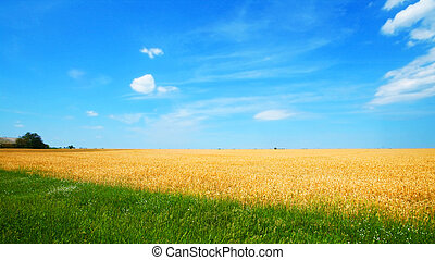 Wheat field with blue sky and clouds