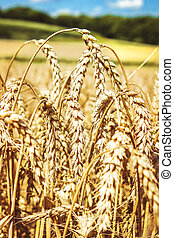 Wheat field with blue sky