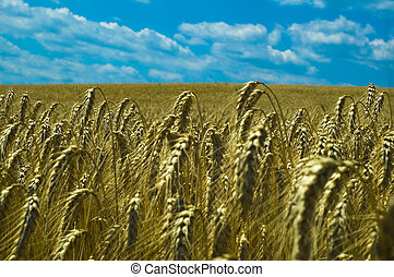 wheat field with clear blue sky
