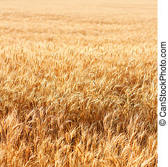 Wheat field with fully ripe wheat