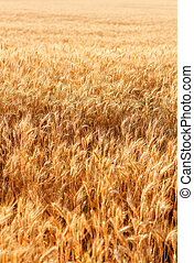 Wheat field with fully ripe wheat. Outdoors