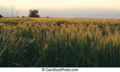 Wheat field with golden ears on sky horizon