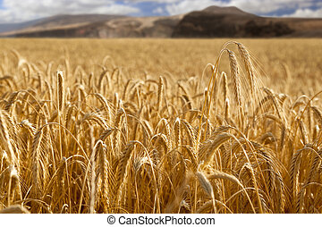 Wheat field with mountains at background