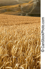 Wheat field with roads at background