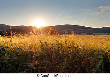 Wheat field with sun