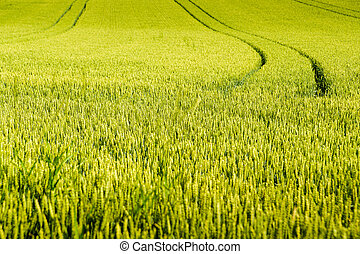Wheat field with tractor tracks
