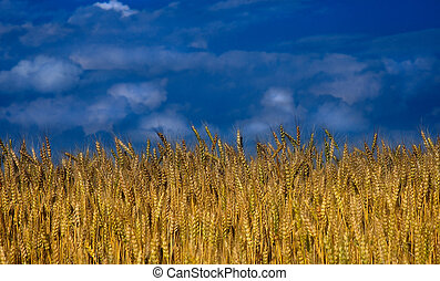 Wheat Field - Yellow wheat contrasts against a bright blue...
