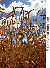 yellow wheat plant on field over scenic blue sky