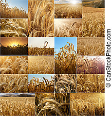 Wheat fields collage