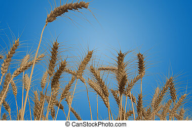 Wheat Fields Isolated