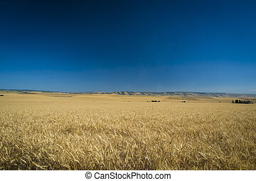 Wheat fields ready for harvest, Washington State - Fields of...