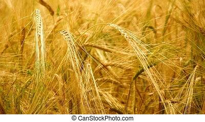 Golden wheat close-up