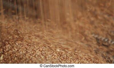 Wheat grain close-up.