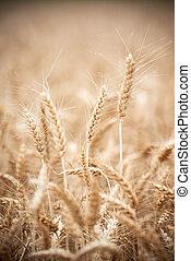 Wheat grain crop ears on field