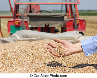 Wheat grain falling from human hand