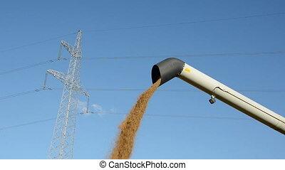 wheat grain harvesting time in farm