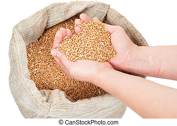 Wheat grain in hands