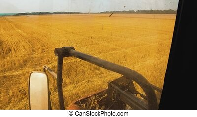 wheat grain into tractor bread trailer after harvest. field...