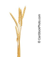 wheat grain isolated on white