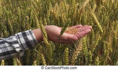 Wheat grains in hands