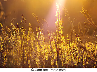 Wheat grass against the setting sun