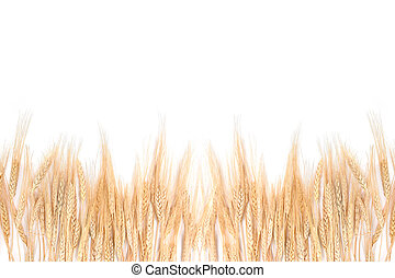 Wheat Grass Bordering on a White Background - Whispy Wheat...