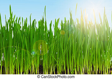 Fresh green wheat grass in field against blue sky with sun