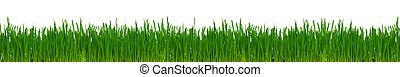 Fresh green wheat grass isolated on white background
