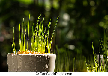 Fresh wheat grass sprout are growing.