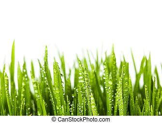 Wheat grass on white background