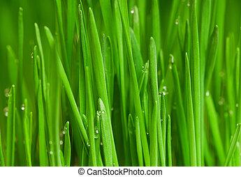 Wheat grass - Fresh green wheat grass with drops dew