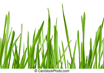 Wheat grass - Fresh green wheat grass isolated on white...