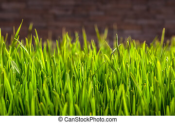 Wheat grass with space for text
