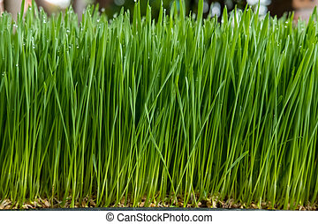 Wheat grass - Fresh wheat grass sprout are growing.