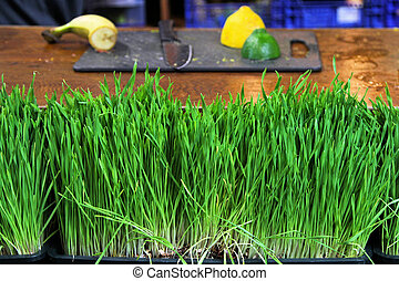 Wheat grass - Fresh and live wheat grass in pots