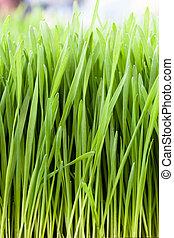 Wheat Grass - Vertical shot of fresh green wheat grass.