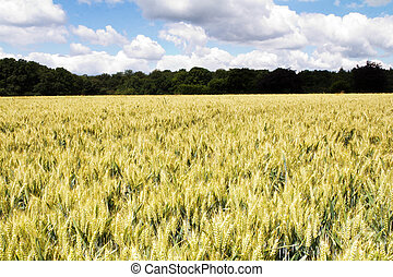 Wheat growing in a field in the Chilterns, England