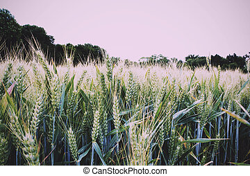Wheat growing in a field in the Chilterns Vintage Retro...