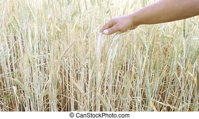 Wheat harvest on the field