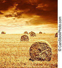 Wheat harvest time - Harvest time of wheat, beautiful sunset...
