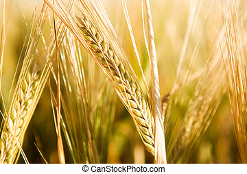 A head of wheat detail with background out of focus