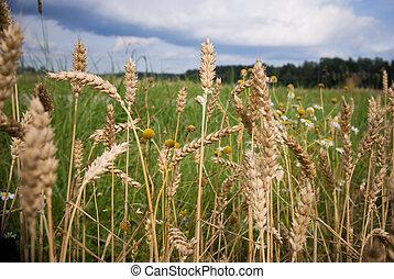 Wheat in a field - close-up of wheat in a field