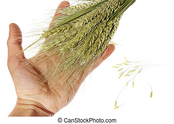 Wheat in hand on the white background