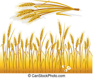 Wheat in the field and spike of wheat